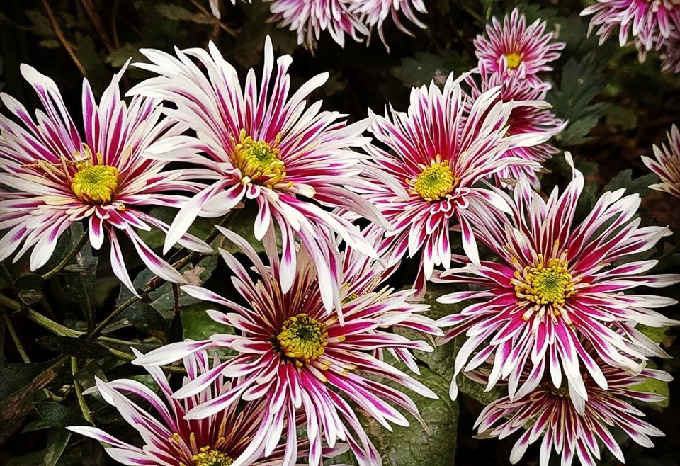 Flor de Otoño: Crisantemos